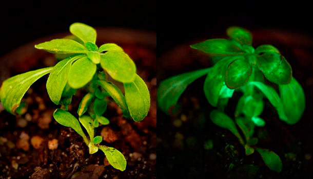 The plant in regular light, left, and in darkness, right. (Credit: Bioglow)