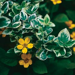 Only time and the environment can weave such intricate, engaging patterns where one spreading plant meets another. Golden star (Chrysogonum virginianum) and 'Emerald Gaiety' Euonymus).