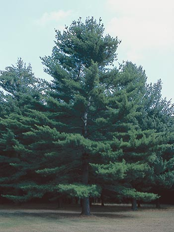 A healthy white pine is full and dark green.