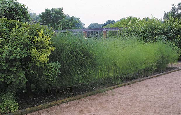 For more height in a herbaceous hedge, consider using ornamental grasses, vines on a trellis, even asparagus (pictured here).