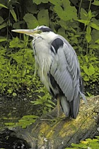 heron-on-a-log