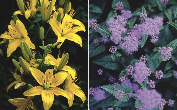 "Tap root and shallow. The category ""tap root"" doesn't always mean a single, straight root but a root that is deep. Hybrid lily, left, has a deeper root than perennial ageratum (Eupatorium coelestinum a.k.a. Conoclinium coelestinum, right), so the two can co-exist harmoniously."