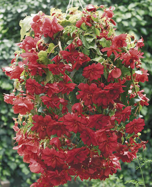 Illumination 'Scarlet' begonia (photo: Proven Winners)