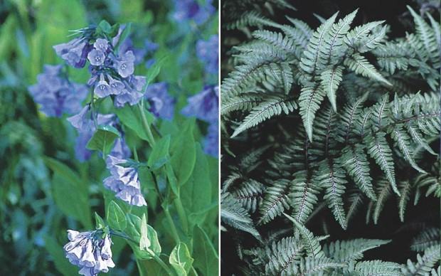 Lark and owl: The lark, Virginia bluebells (Mertensia virginica), is a great match for the owl, Japanese painted fern (Athyrium niponicum var. pictum), because both are at home in the shade.