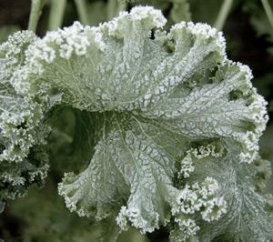 kale-frost
