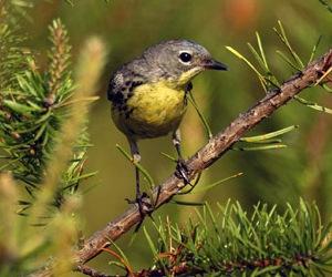 Kirtland's Warbler.