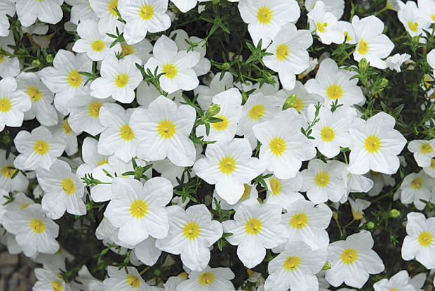 'Lara White' cup flower - Nierembergia (photo: Ball Horticultural Company)