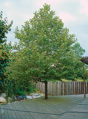 A gardener can be an advocate against threats to a tree, such as decking in the trunk, which will soon kill this linden, only 25 percent grown.