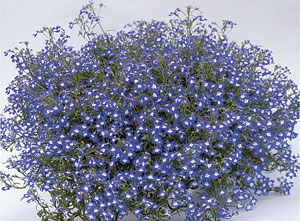 'Hot Blue with Eye' lobelia (photo: Westhoff)