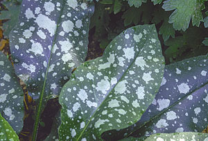 Lungwort varieties with white splashes and splotches are hot items at garden centers.