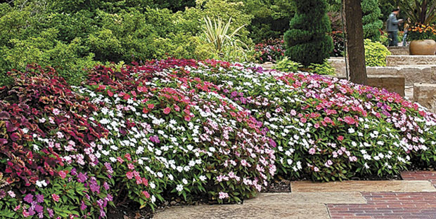 A mix of colors in the SunPatiens Vigorous series. (photo: www.sunpatiens.com)