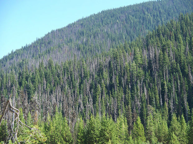 Damage caused by the Mountain Pine Beetle in British Columbia, Canada. (Photo: Jonhall / Wikipedia)