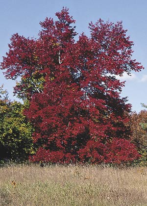 Few plants shine so brightly in fall as our native red maple.