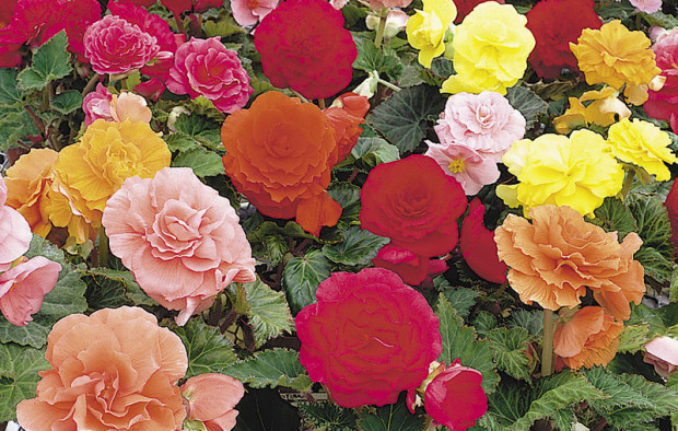 Nonstop 'Mix' begonia (photo: Proven Winners)