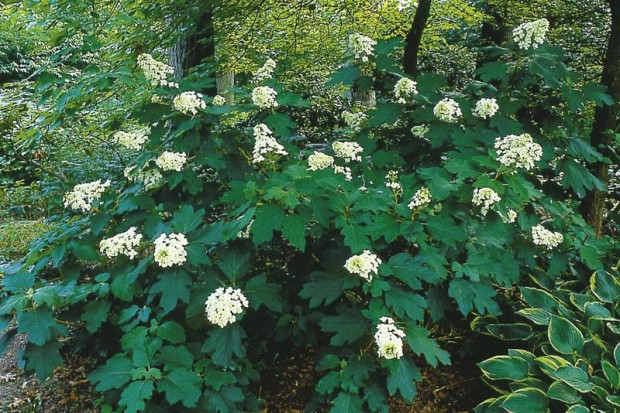 September is a great time to move most shrubs. Oakleaf hydrangea (Hydrangea quercifolia) blooms wonderfully in half shade in moist, well-drained soil. If grown in other locations it's a disappointment.