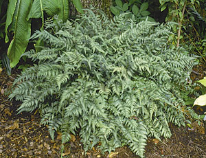 All painted ferns are not equal. Some are whiter, greener, or more maroon than others.