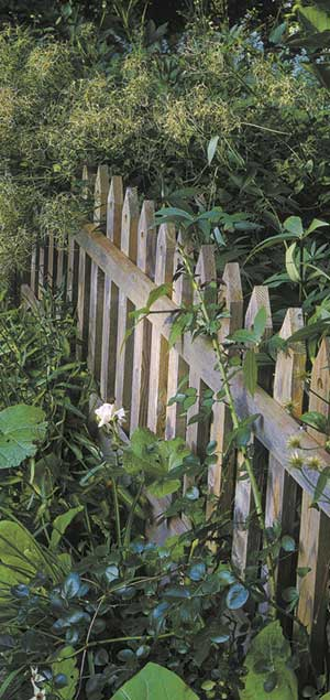 It's tough to bring our green, growing stuff to a graceful end at the edges of our property. Here what could be an abrupt finish is softened by a seed-laden shawl of Clematis recta wisely grown to cover only a portion of the picket fence. Full coverage would simply replace one vertical wall with another.