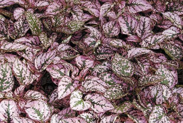 Pink variegated polka dot plant (photo: Eric Hofley / Michigan Gardener)