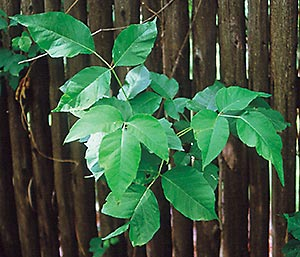Perhaps our best defense against dangerous plants such as poison ivy is to learn to identify them and steer clear of them!