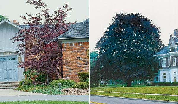 The gardener will not count as his or her tree for posterity any tree such as this tricolor beech…which has no chance to reach full size. (Purple beech, 50 feet).