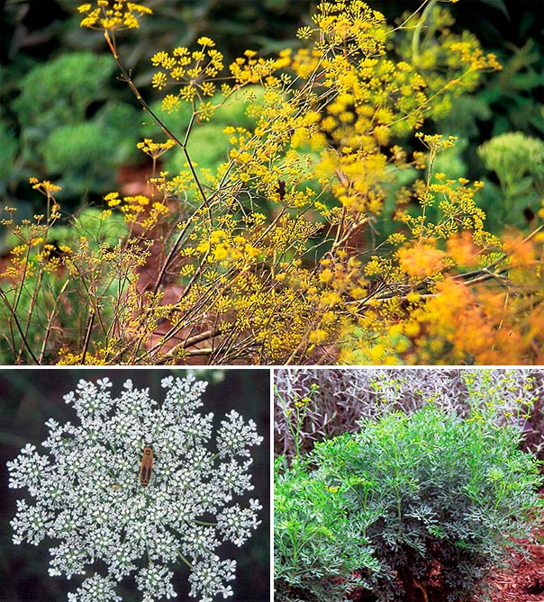 When you rub fennel (top), Queen Anne's lace (above left), or rue (above right), on your skin, then stay out in the sun, a burn-like rash will appear. Growing any of these plants is good reason to cover your arms and legs when working in the garden.