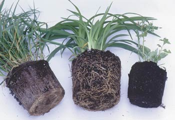 How can a buyer know that their garden center sells a reasonable size for the price? Buy some test plants from several sources, depot them and see if they have grown to just fill the pot (daylily, center), have been held too long so that they've become rootbound (ornamental grass, left) or were too-recently up-potted so that roots have not yet filled the container (right). No grower can achieve perfection in every one of hundreds of crops, but I know to buy from the ones who most frequently achieve the full-but-not-rootbound stage.