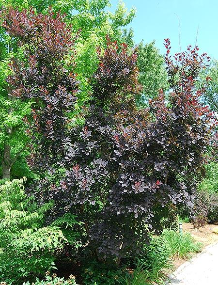 'Royal Purple' Smoke Bush
