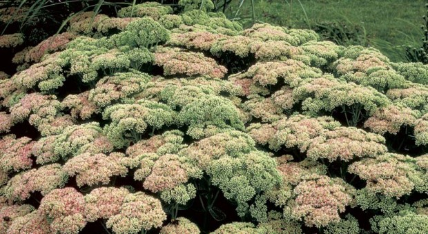 Sedum 'Autumn Joy' has become the plant I love to hate, because it's too perfect. Is it fair that a plant with good foliage all summer, great color all fall, plus winter interest should also handle drought and heat without faltering?!
