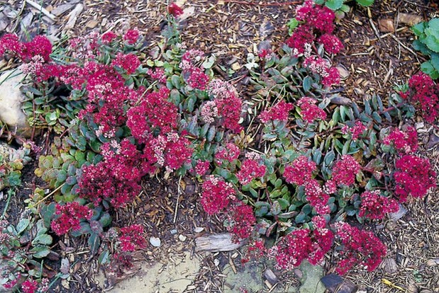 Sedum 'Vera Jameson' is pretty in bloom (above) and pretty in leaf (below), but it's not aggressive. Left too long in one spot, it will be crowded by other plants or affected by depleted soil nutrients and begin to decline.