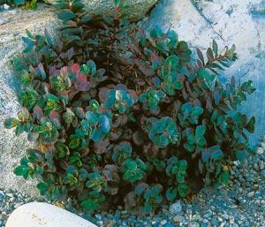 sedum-vera-jameson-foliage-sep-13