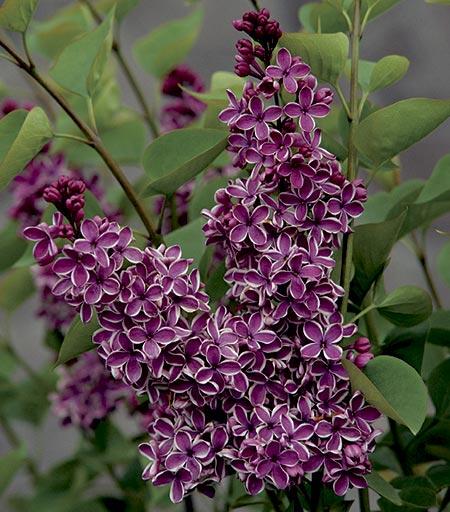 'Sensation' Lilac