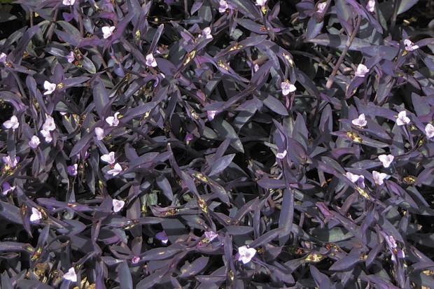 Purple heart (Setcresea) (photo: Eric Hofley / Michigan Gardener)
