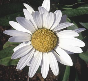 Luther Burbank, by all measures a genius for more than 800 plant introductions, including the classic Shasta daisy, readily admitted to talking to his plants. He wrote that plants are telepathically capable of understanding speech.