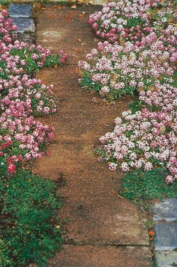 Sweet alyssum and thyme sow themselves in this path and are selectively weeded.