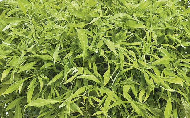 Illusion 'Emerald Lace' sweet potato vine (photo: Proven Winners)
