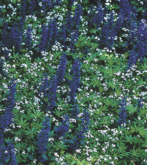 "Virginia Smith poses sweet woodruff (Galium odoratum) as an example of an acceptable weed that succeeds on many levels. It fills in bare spaces, cohabiting agreeably here with blue-blooming Ajuga repens, and also offers features the older gardener learns to appreciate. ""It's so pretty in shape, foliage color and texture; it's not just a bloom thing."""