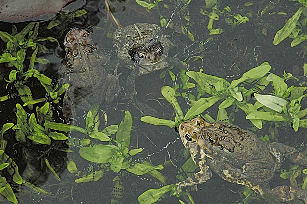 toads-in-backyard-pond