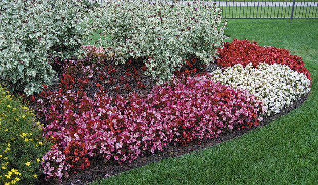 Traditional wax-leaf begonias (photo: Eric Hofley / Michigan Gardener)