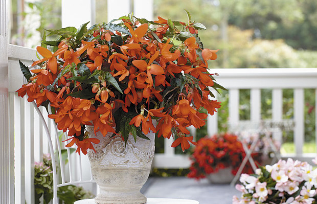 Waterfall 'Encanto Falls Orange' begonia (photo: Beekenkamp Plants)