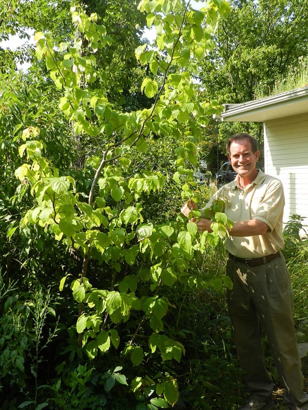 Bob Grese tends to a witch hazel tree (Hamamelis virginiana). Native Americans used the tree bark to treat sores, tumors, skin ulcers, sore muscles, coughs, and colds. Yellow blooms in early spring and yellow fall color make this a beautiful tree.