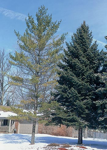 This white pine, next to the spruce on the right, is yellow and thin—signs of decline.